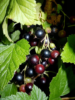 blackcurrant buds fruits with leaves