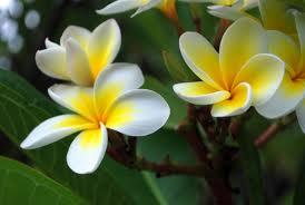 Plumeria or frangipani.