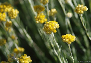 Immortelle. Source: The Perfume Shrine.