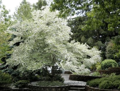 One type of Styrax tree which creates the resin used in Tubereuse Criminelle and in other fragrances.