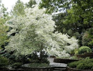 One type of Styrax tree which creates the resin used in Tubereuse Criminelle.