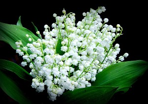 Muguet or Lily of the Valley.