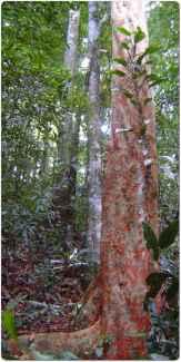 Brazilwood or the Pernambuco tree.
