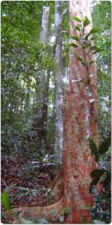 Brazilwood or the Pernambuco tree.