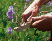 Harvesting the iris root. Source: Weleda UK