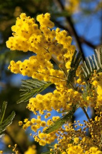 mimosa-flower-200x300