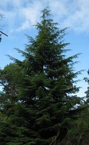 "The Tsuga tree or, ""Black Hemlock."""