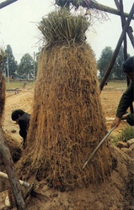 Vetiver roots, the primary source of the essential oil. Photo:  Herbariasoap.com