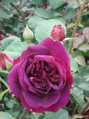 """Purple rose at Warwick Castle, England. Photo provided with permission by CC from """"Slightly Out of Sync"""" blog."""