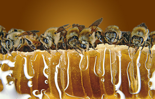 Bees on beeswax. Source: McDanielHoneyFarm.com