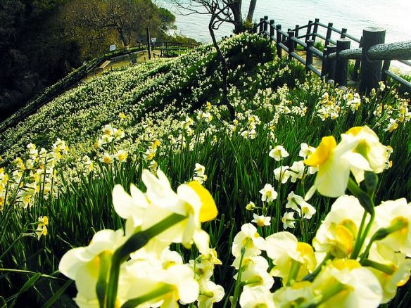 Field of Narcissus