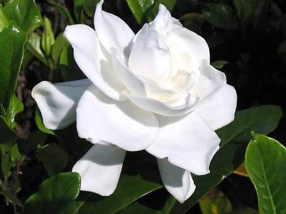 Gardenia-beauty