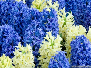 Hyacinth from PicsToPin Com