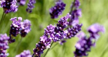 lavender-550px