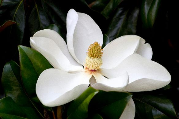 Magnolia. Source: Kathy Clark via FineArtAmerica.com