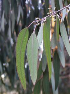Eucalyptus leaves.