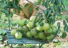 Green Aqua Pears via Wallpapers site