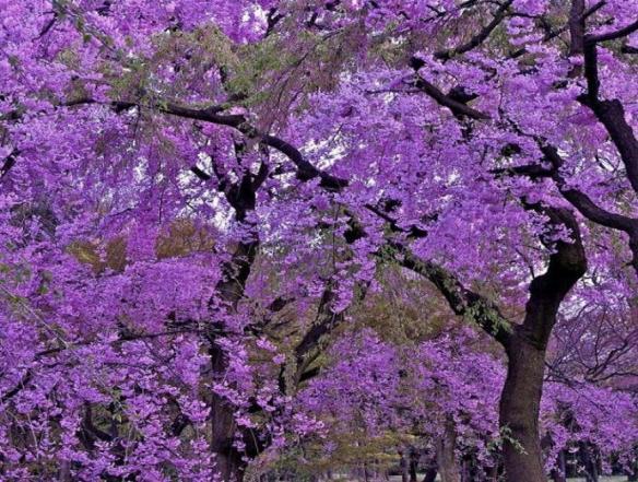 Lilacs. Source: Kootation.com