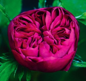 """Rose de Rescht,"" a type of Persian damask rose which originated from Rascht, Iran. Source: Flowerpedia.blogspot.com"