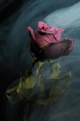 Spirit of a Dying Rose by Vincent Knaus via RealityDefined.com