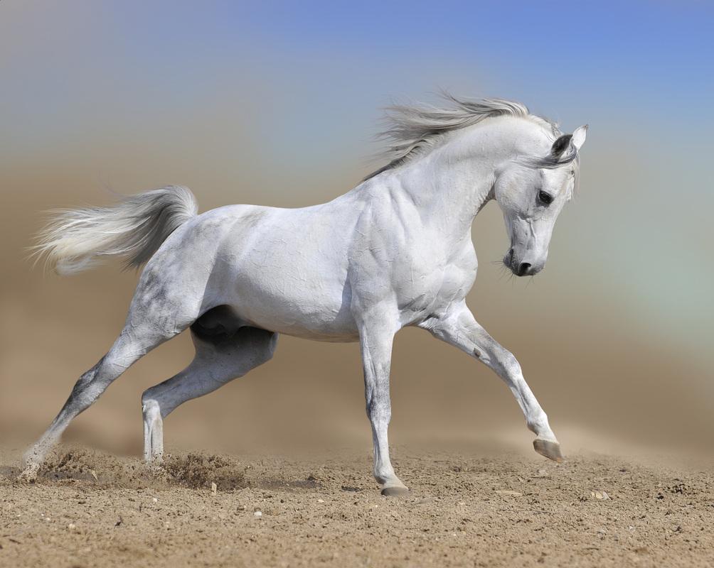 Arabian Horse Images Perfume Review ...