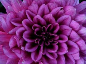 Dahlia Source: Flowerpicturegallery.com