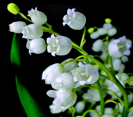 Muguet, or Lily of the Valley.