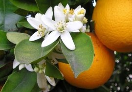 Orange blossoms via the Pattersonfoundation.org.