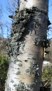 Silver birch tree. Source: my own photograph.