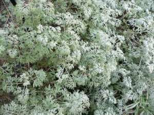 Artemisia Absinthe or Wormwood. Source: Esacademic.com
