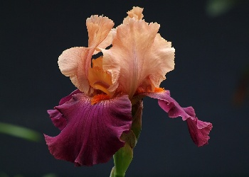 Bearded iris via scenicreflections.com