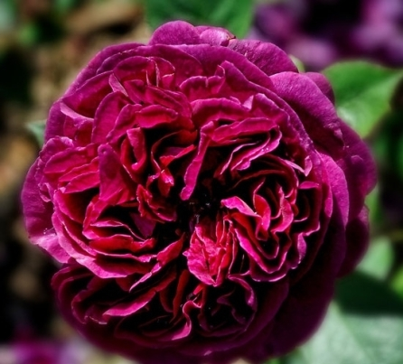 Crimson Rose by Karen Betts. Source: redbubble.com