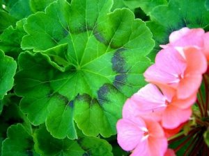 Pink geranium and its leaf. Source: alajnabiya.blogspot.com