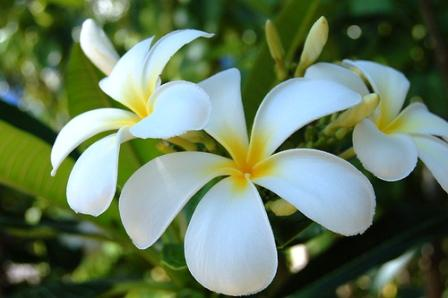 Tiare or Tahitian gardenia. Source: Kootation.com