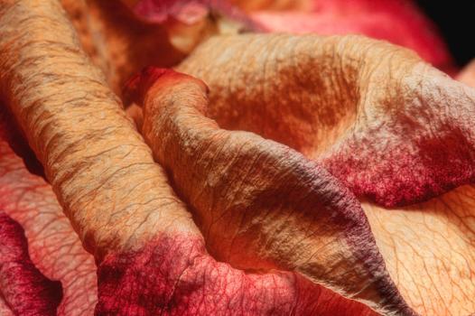 """Dried Rose Petals"" by Tom Mc Nemar via Fineartamerica. http://fineartamerica.com/featured/dried-rose-petals-ii-tom-mc-nemar.html"