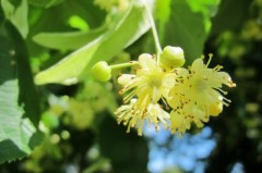 Linden blossom. Source: www.selfsufficientish.com