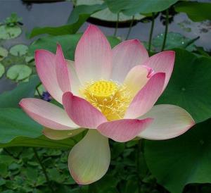 Lotus Flower via Wikipedia