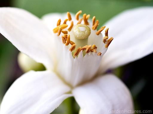 Orange Blossom. Photo: GardenPictures via Zuoda.net
