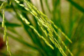 Rice stalk via nsf.gov