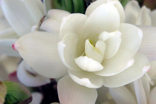 Tuberose: Source: mostbeautifulflower.com