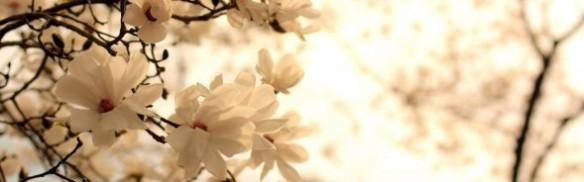 Blooming Magnolia tree. Source: wallpaperswiki.org