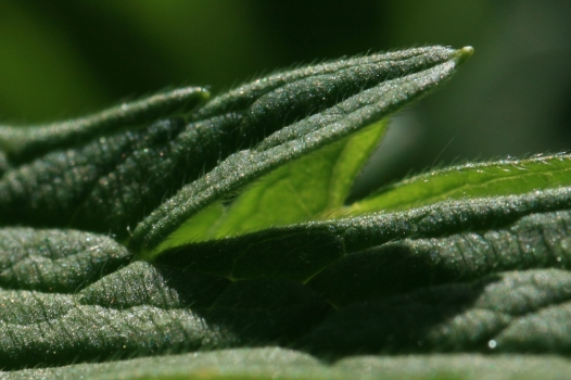 Geranium pratense leaf, close-up. Source: Wikicommons