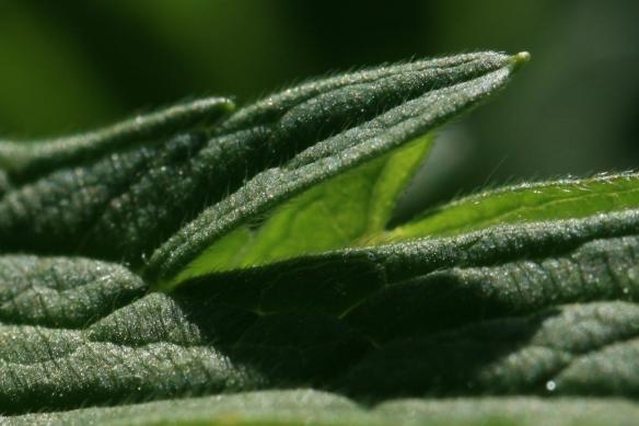 Geranium pratense leaf, close-up. Source: Wikicommons