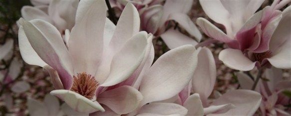 Magnolia. Source: wallpaperpimper.com