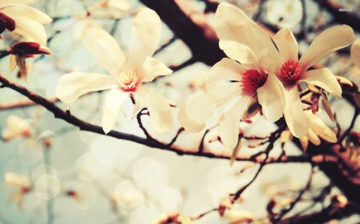 Magnolia. Source: desktopwallpapers4.me