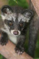 Civet. Source: focusingonwildlife.com