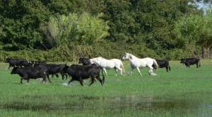 The famous black bulls and white horses of Camargue. Source: horsebackridingvacations.eu