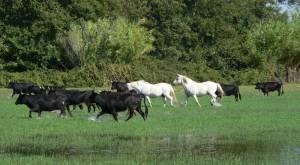 The famous black bulls and white horses of Camargue. Source: horsebackridingvacations.eu