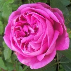 Ta'if rose: perfumemaster.org