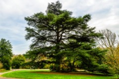 Atlas cedar. Source: sodahead.com